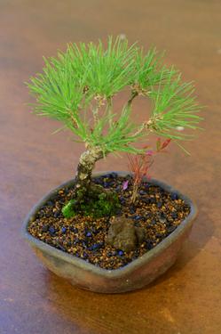 bonsai1228_3.jpg