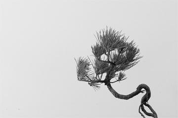 bonsai_chakai.jpg
