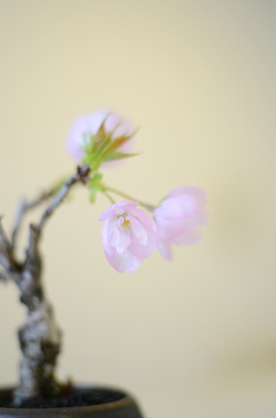 桜花茶会写真.jpg