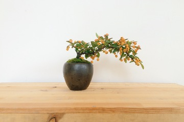 bonsai20161128_1.JPG