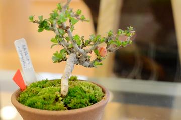 bonsai20.3.12 _4.JPG